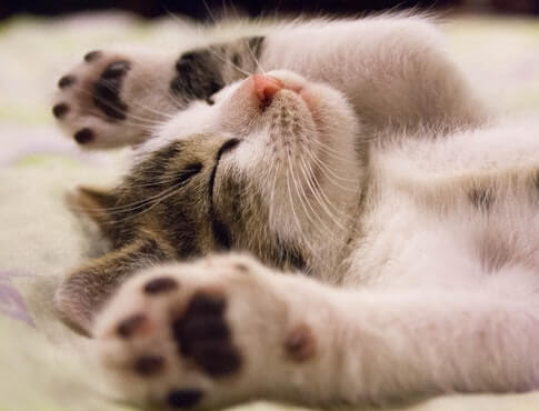 Best Cat Breeds For Apartments Apartmentsearch