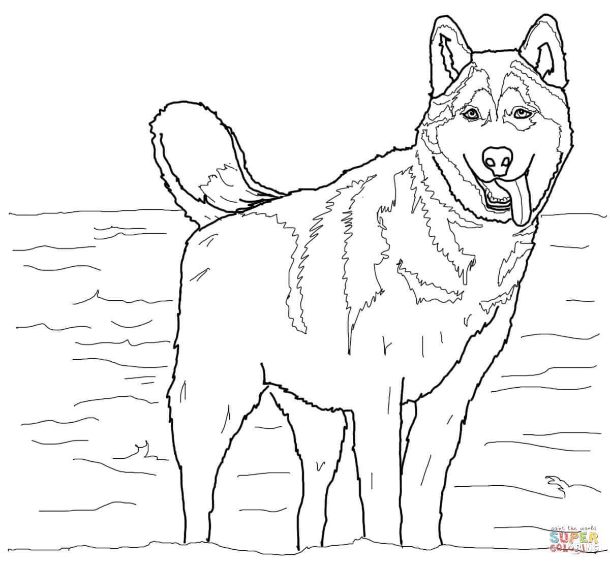 Coloriage Husky Sibérien Coloriages à Imprimer Gratuits