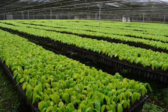 Biofábrica supera marca de 2,6 milhões de mudas produzidas (Foto Mariana Ferreira).