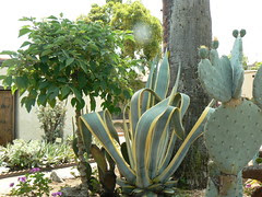 Agave and cactus in the courtyard garden, San Gabriel Mission
