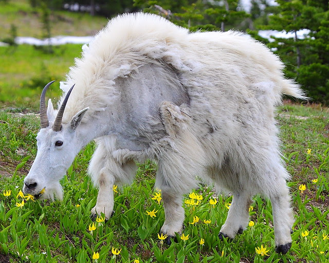 IMG_2870 Mountain Goat Eating Glacier Lily, Glacier National Park