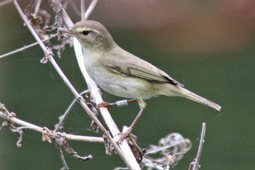 Mystery bird - is it a chiffchaff?