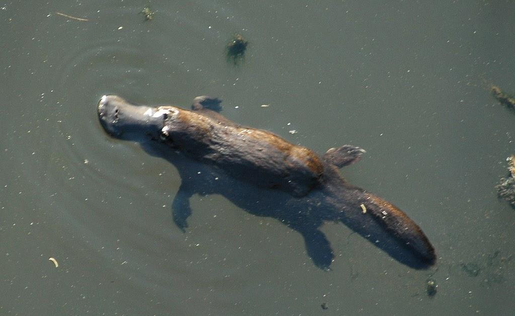 Ashland Vertebrate Biology: It's a bird! It's a beaver! No ...