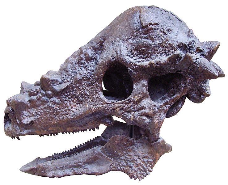 File:Pachycephalosaurus skull.JPG