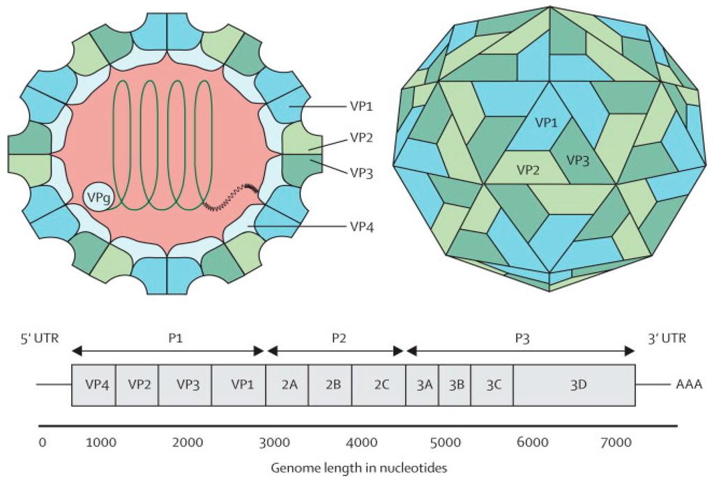 Estructura del virus de la polio, con el detalle de su genoma. Fuente: MDPI.