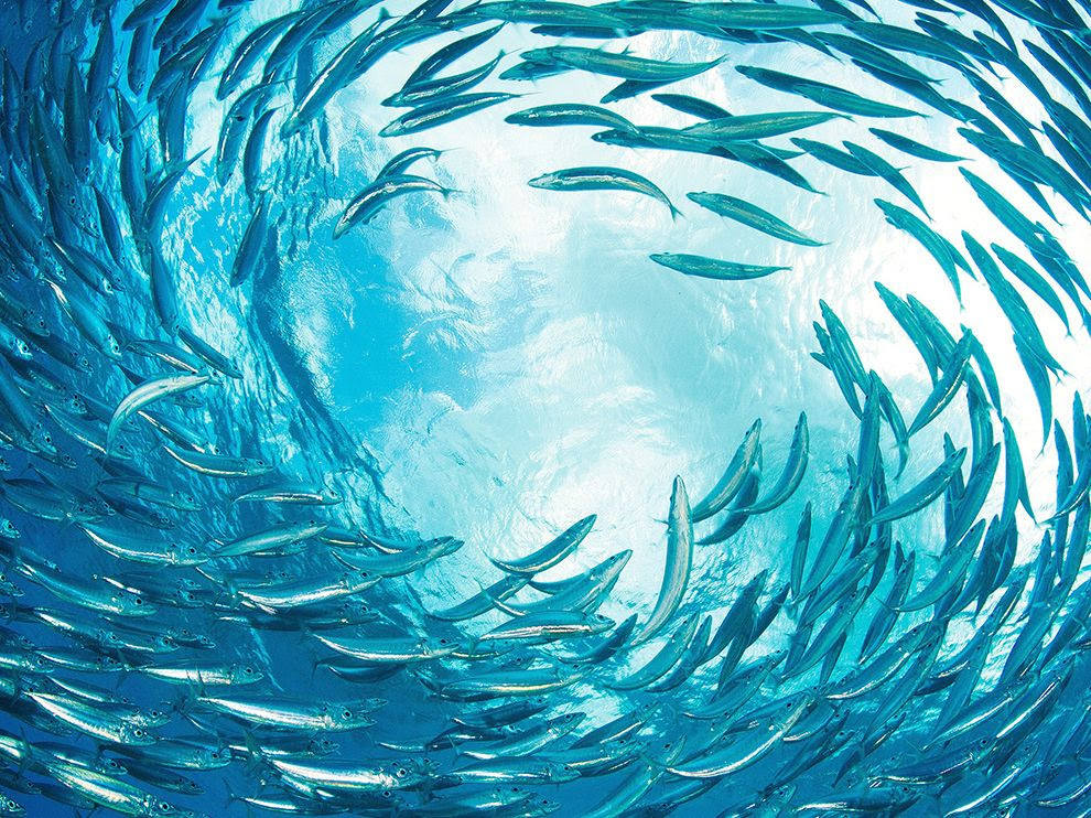 A flock of sardines from the Caribbean island of Bonaire