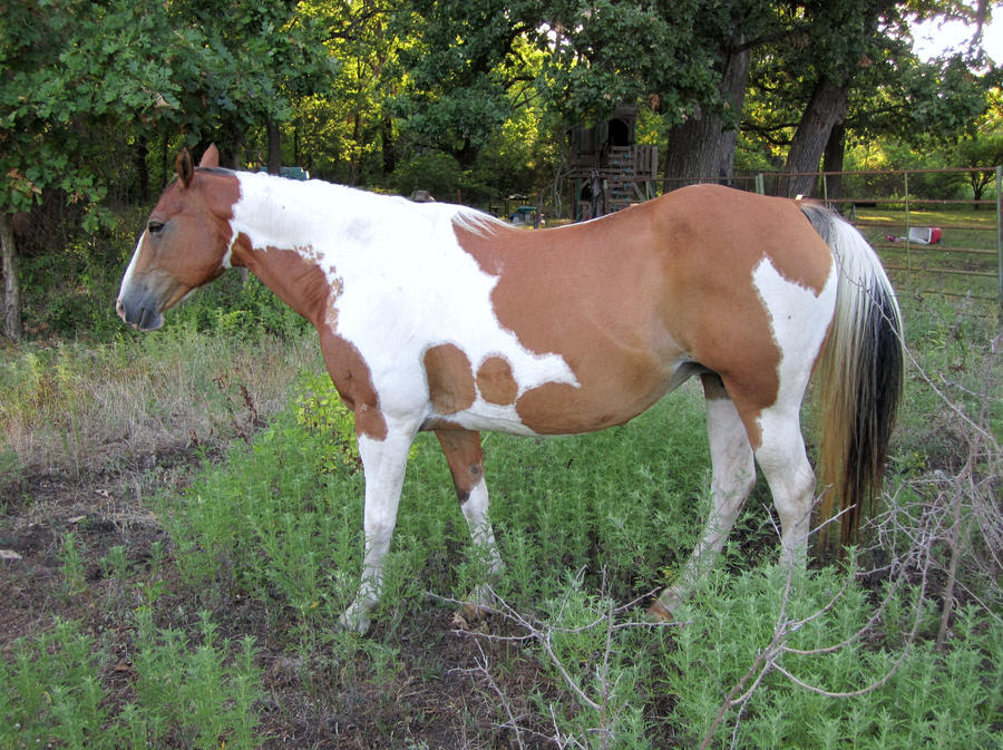 Brown and white paint horse 04 by NavuStar on DeviantArt