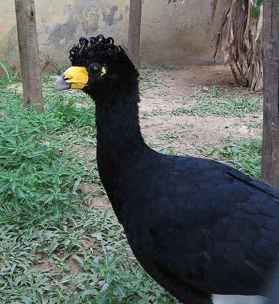 Ficheiro:Crax alector (Rio Zoo).jpg