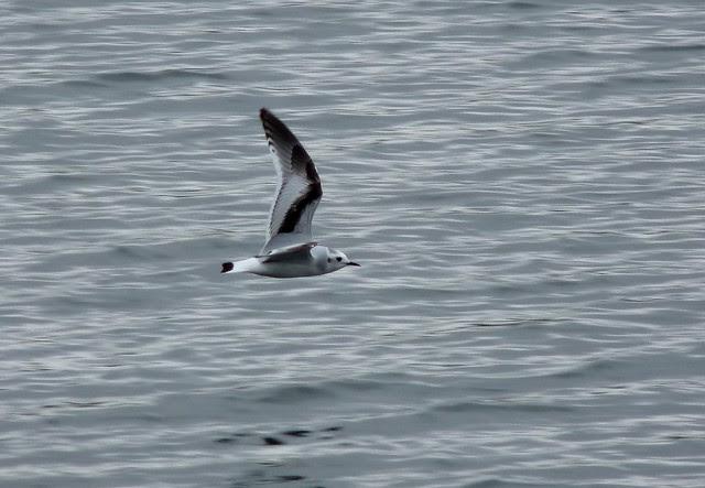 24031 - Little Gull, Sandy Water Park, Llanelli