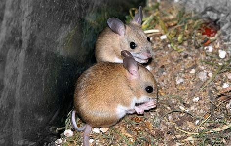 Mice in your Attic or Home? Learn How to Get Rid of Them!