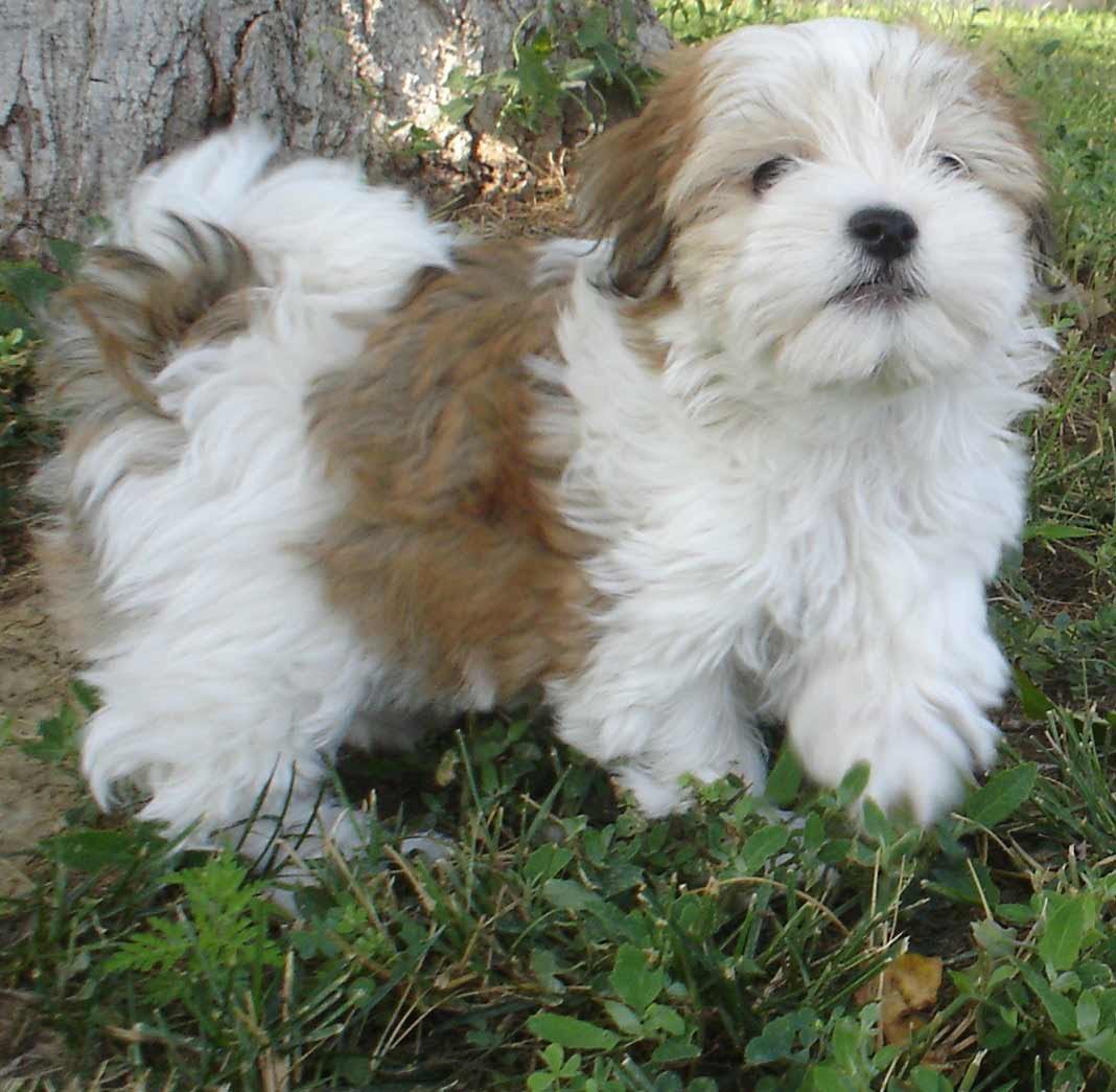Havanese Dog Breed \u00bb Information, Pictures, \u0026 More