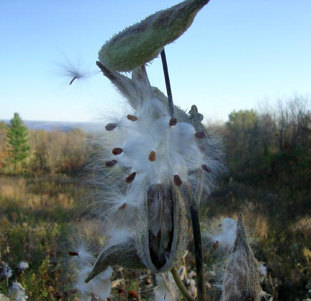 Milkweed fluff.JPG