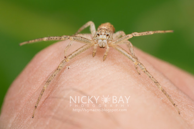 Crab Spider (Thomisidae) - DSC_6447