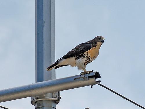 The Hawk on the Corner