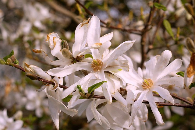 spring (white)