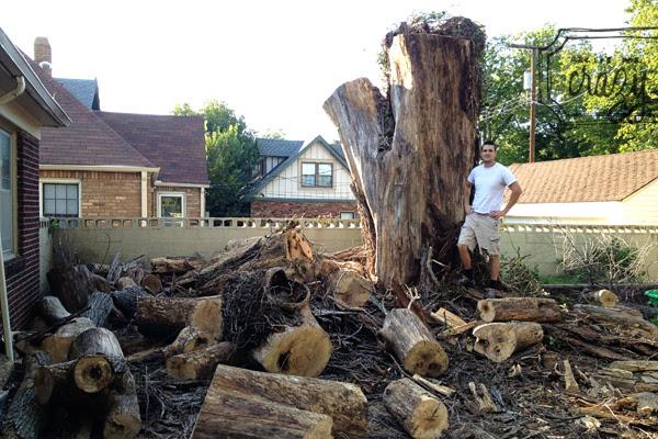 huge tree cut down
