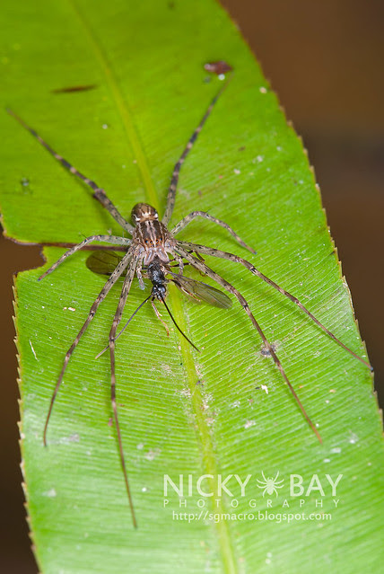 Fishing Spider (Hygropoda  sp.) - DSC_3340
