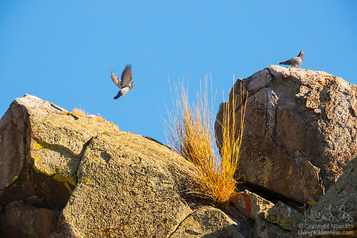 Rock Pigeons on Rock Outcropping, Malheur County, Oregon