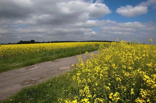 006 Trên con đường cánh đồng hoa vàng