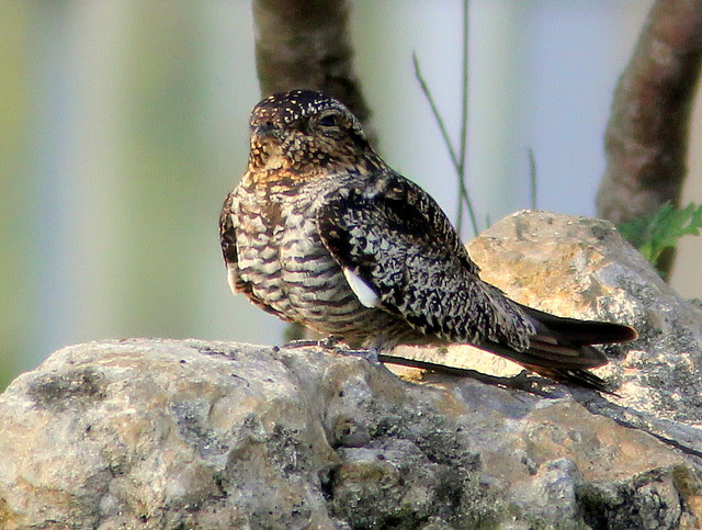 Common Nighthawk 20110419