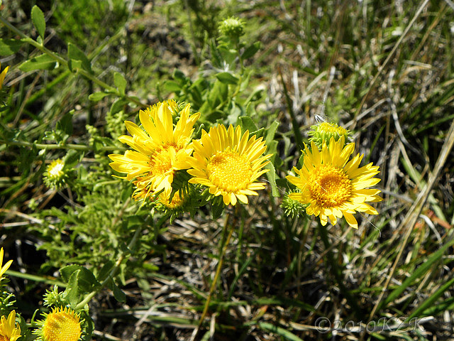 DSCN6716 KS wildflowers