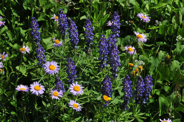 Daisies and Lupine