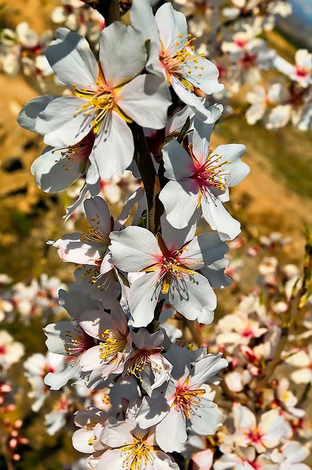 Almond Tree Flowers [enlarge]