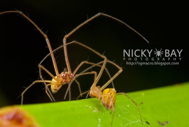 Striated Tylorida Spiders (Tylorida striata) - DSC_3236