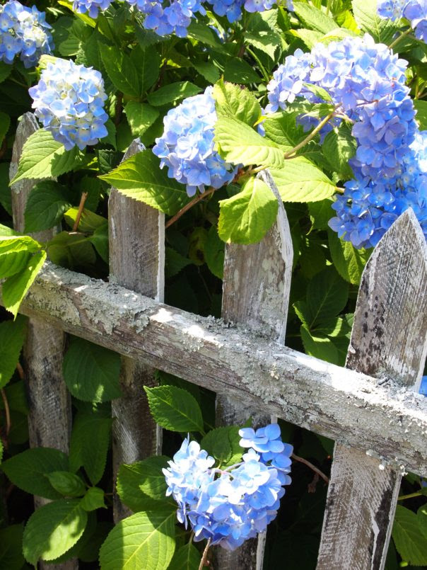 hydrangeas on a picket fence