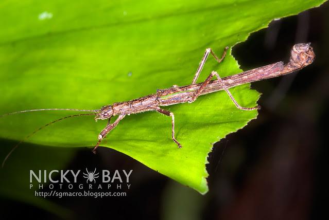 Stick Insect (Phasmatodea) - DSC_1363