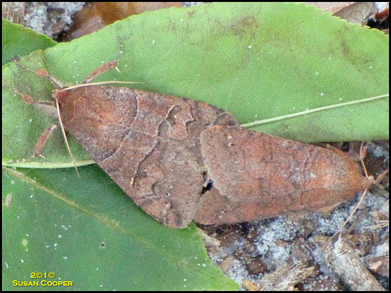 Black-dotted Brown Moth