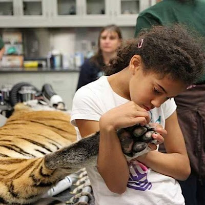 touching a tiger