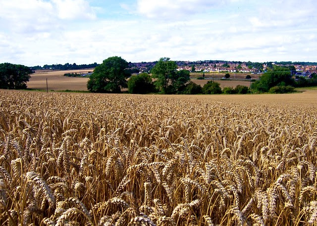 Wheat field (Kingsnorth 2008)