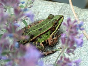 Foto van een Groene kikker