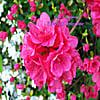 Cathy L Simpson: Flowers of Springtime