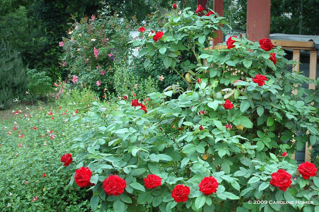 Dame du Coeur rose