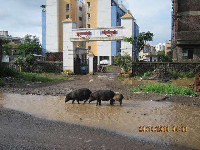 Pigs roaming on the roads in Bavdhan Budruk Pune 411 021