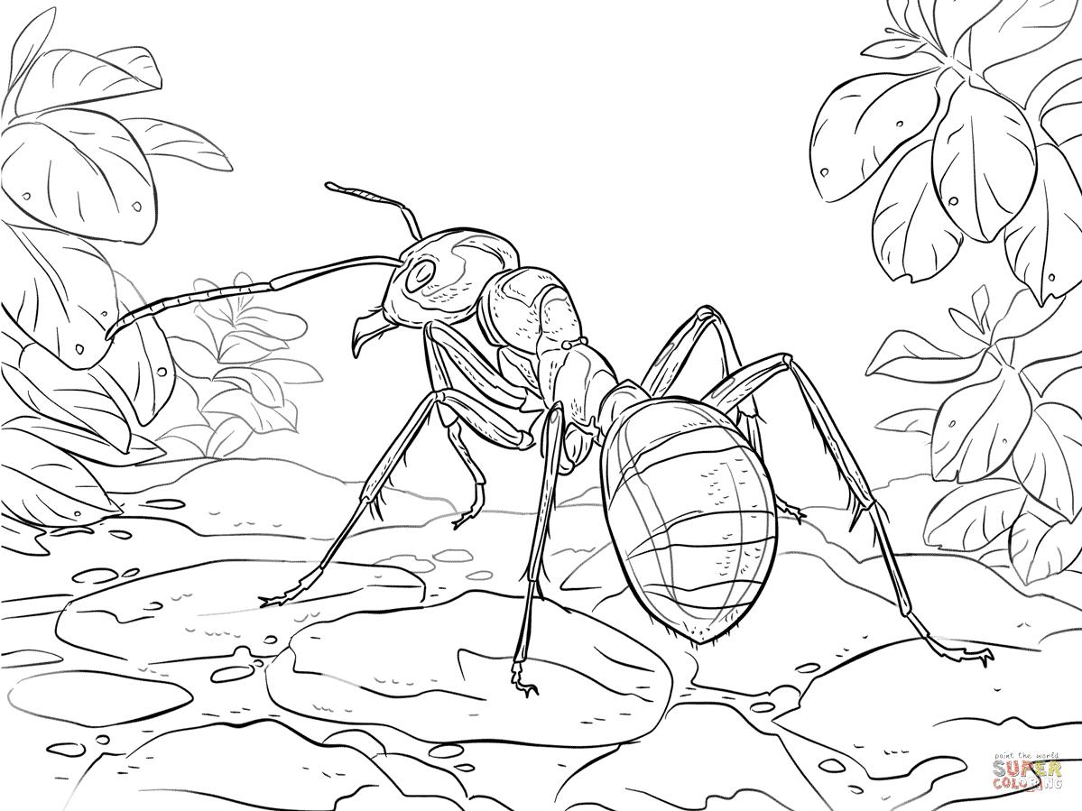 Dibujo De Hormiga Roja De La Madera Para Colorear Dibujos Para