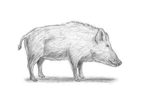 boar animalstodraw