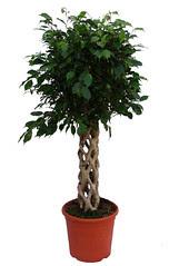 Ficus benjamina de tronco decorativo