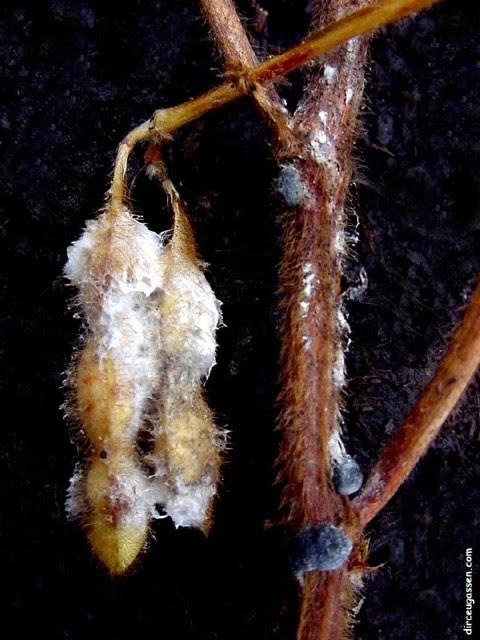 Sintomas de mofo branco na vagem de soja - Crédito Dirceu Gassen