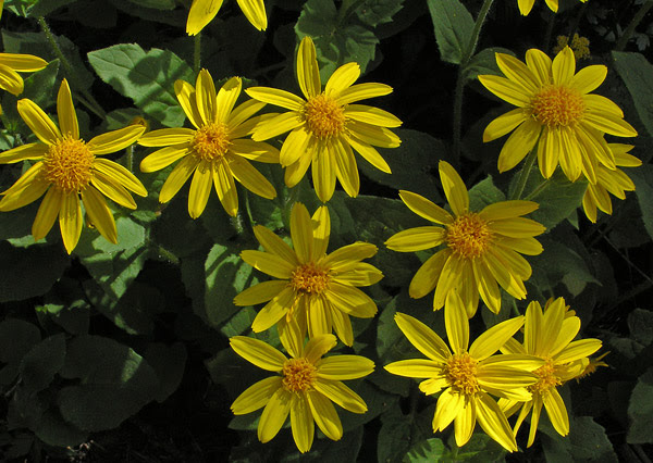 http://www.swcoloradowildflowers.com/Yellow%20Enlarged%20Photos/6arco9.jpg