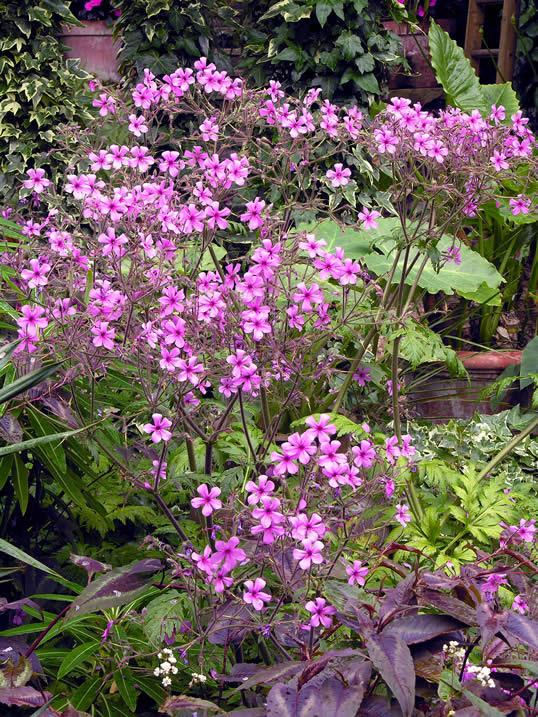 Canary Island Geranium - Geranium palmatum
