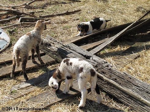 Bert and lambs 1