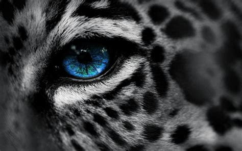 animals leopard blue eyes selective coloring wallpapers