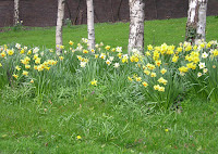 Birch and daffodils