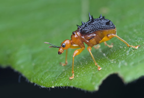 macro photography blog spiny spiky giraffe weevil /long necked beetle IMG_8642 copy