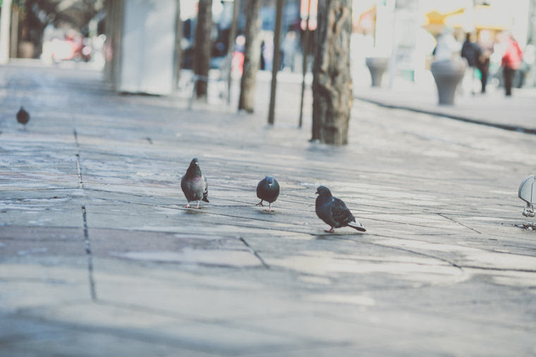 Photo of city pigeons in Denver Colorado
