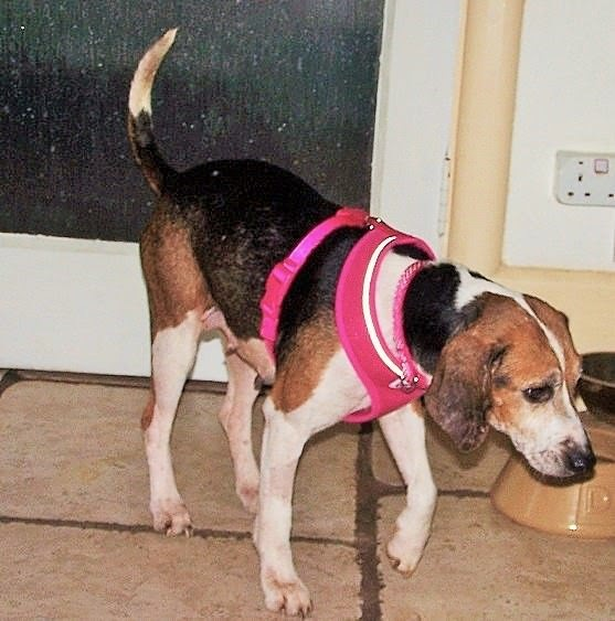 Marnie – 8 year old female Beagle Cross
