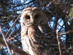 Barred owl cedar tree